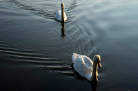 SS_Swans_538