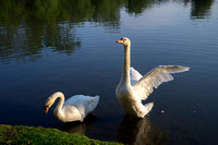 SS_Swans_539