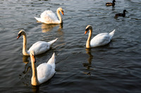 SS_Swans_522
