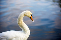 SS_Swans_527
