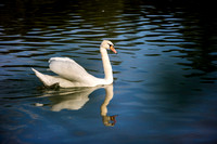SS_Swans_528